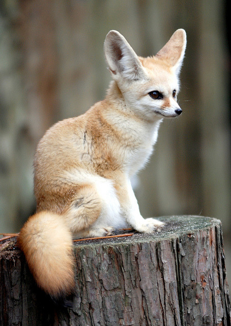 leyleyanne:  Fennec fox by floridapfe on Flickr.