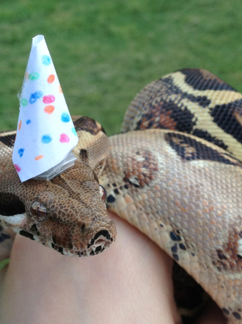 emilyjustdontcare:  Happy birthday, beautiful snake of mine!! I think he liked the hat I made him c:  Awww. Snakes are so charming.