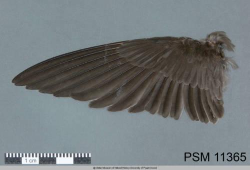 taikoneesan:  Birds in order: Allen's Hummingbird, f Arctic Tern, m Atlantic Puffin, m Bald Eagle, m Bank Swallow, f Barn Owl, f Common Raven, m Great Blue Heron, m Tundra Swan, m