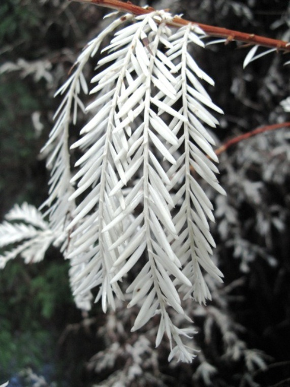 This is so cool and beautiful!  crookedindifference:  Albino Redwood  Ultra-rare albino redwood trees completely lack the green pigment chlorophyll, which they need to live (by photosynthesizing nutrients from light). These plants are literally vampires. They are pale (everwhite instead of evergreen), and they survive by sucking the life from other trees. These vampires remain attached to the roots of their healthy, normal, parent trees (coastal redwoods can reproduce asexually by sprouting new shoots from roots or stumps), and survive by sucking energy from them. They can keep this up for a century. Only about 25 of these trees are known to exist around the world, eight of which are at Henry Cowell State Park in California, where rangers and researchers from Stanford University and UC Santa Cruz are studying them…