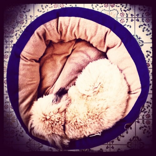 Nap time #dogsitting #dog #puppy  (Taken with instagram)