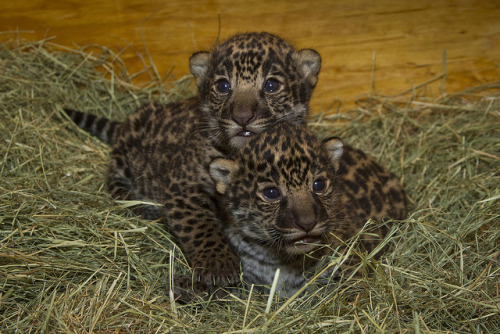 sdzoo:  Introducing the first jaguar cubs born here since 1989! We can barely contain our excitement!