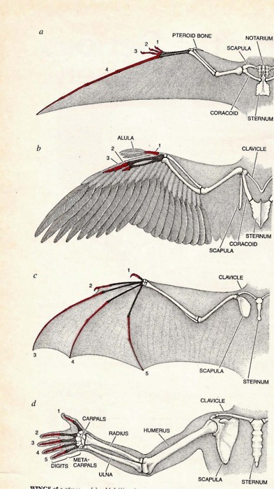skullandbone:  arm/wing comparison and evolution