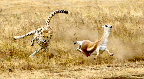 Cheetah and the Gazelle by rbatchafmc on Flickr.