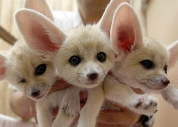 FENNEC FOXES = CUTE OVERLOAD