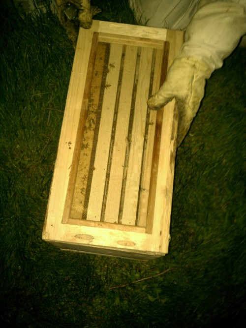 Bees in their new house.