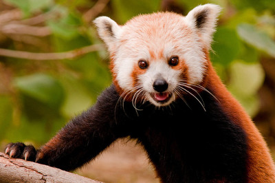 worldlyanimals:  Smiling Red Panda (sunspotimages)