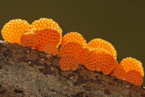 nybg:  tiny-forest:  Orange Pore Fungi (Favolaschia calocera) mushroom blog   This week's (I know, I'm sporadic) dose of adorable fungi. It always seems cutest when it comes as a family unit. This species is totally loathsome and invasive in New Zealand, sure, but yeah—cute.