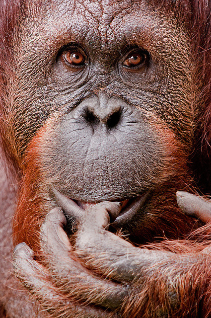 worldlyanimals:  Orangutan with Hand (sunspotimages)