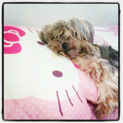 Peepo loves Hello Kitty. <3 #igersmanila #igersdaily #igers #cute #pets #puppy #terrier #photooftheday #instadaily #instaphoto #instagramhub #instagood #picoftheday #asia #myphotos  (Taken with instagram)