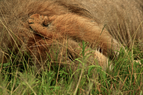 njwight:  This was my first mature male lion–the 3-legged guy I wrote about previously. He was contently sleeping in tall grass when we came upon him and as I got a closer look, I was fascinated with the notches in his ear. (Enlarge for a better look) Check him out here: http://njwight.tumblr.com/post/22774673348/3legged-lion