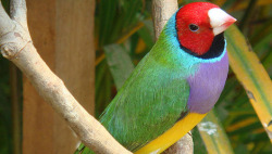mothernaturenetwork:  Colorful birds quicker to evolveBirds with multiple versions of their color patterns evolved into new species more quickly than those with uniform plumage, a study found.