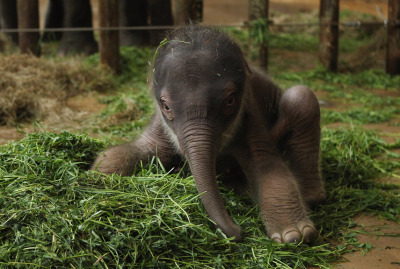 mothernaturenetwork:  Fuzzy baby elephant makes zoo debutA 2-day-old male Asian elephant, weighing only 102 kilograms (about 225 pounds), sits on a bed of grass on May 10 while getting used to his wobbly legs inside his enclosure at the Berlin Zoo. Asian elephants are an endangered species threatened primarily by habitat loss from deforestation, as well as ivory poaching and  isolation of populations.