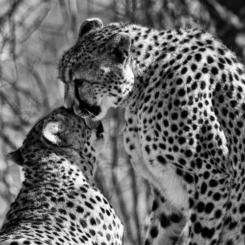 A Cheetah Kiss by *clippercarrillo