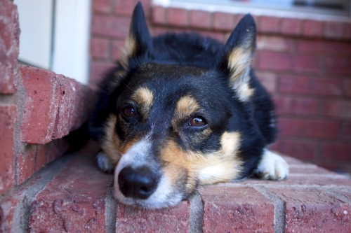Doorstep Corgi - My Space Cowboy, Einstein, is exactly the same length as the doorstep. He knows he's a perfect fit.