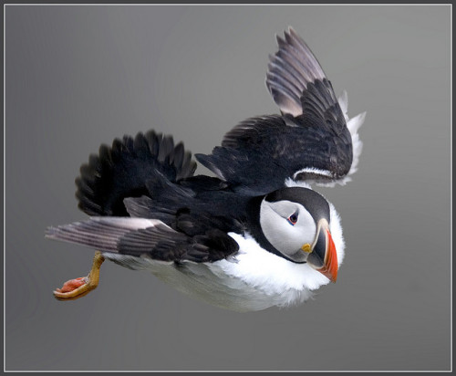 fat-birds:  Puffin hovering against a strong north easterly (fratercula arctica) by hawkgenes on Flickr.
