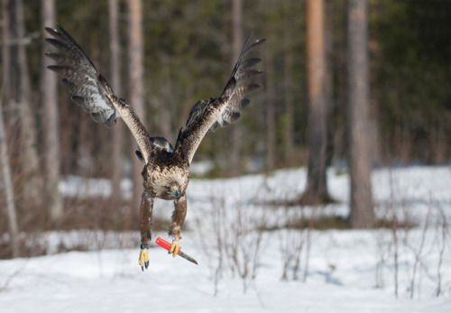 thedailyfeed:  That's one badass golden eagle! Photographer Han Bouwmeester snapped this pic of the bird clutching a hunting knife in Västerbotten, Sweden.