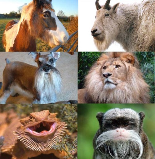 6 Animals with beards. Who rocks it the best?