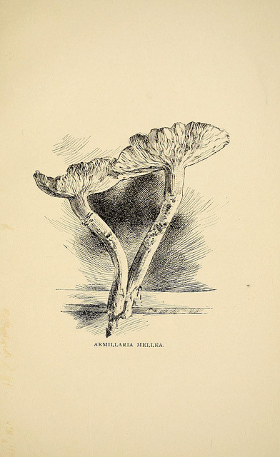 mycology:  n52_w1150 by BioDivLibrary on Flickr.