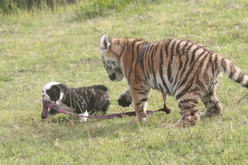 ohmygoshbabyanimals:  just takin' the cat for a walk…    I def gasped from all the preciousness when I found this.