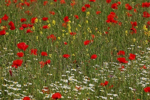 poppies, daisies and more