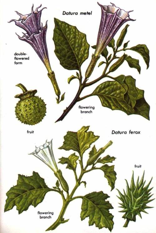 dimensiontheories:  DHATURA and DUTRA (Datura metel) are the common names in India for an important Old World species of Datura. The narcotic properties of this purple-flowered member of the deadly nightshade family, Solanaceae, have been known and valued in India since prehistory. The plant has a long history in other countries as well. Some writers have credited it with being responsible for the intoxicating smoke associated with the Oracle of Delphi. Early Chinese writings report an hallucinogen that has been identified with this species. And it is undoubtedly the plant that Avicenna, the Arabian physician, mentioned under the name jouzmathel in the 11th century. Its use as an aphrodisiac in the East Indies was recorded in 1578. The plant was held sacred in China, where people believed that when Buddha preached, heaven sprinkled the plant with dew. Nevertheless, the utilization of Datura preparations in Asia entailed much less ritual than in the New World. In many parts of Asia, even today, seeds of Datura are often mixed with food and tobacco for illicit use, especially by thieves for stupefying victims, who may remain seriously intoxicated for several days. Datura metel is commonly mixed with cannabis and smoked in Asia to this day. Leaves of a white-flowered form of the plant (considered by some botanists to be a distinct species, D. fastuosa) are smoked with cannabis or tobacco in many parts of Africa and Asia. The plant contains highly toxic alkaloids, the principal one being scopolamine. This hallucinogen is present in heaviest concentrations in the leaves and seeds. Scopolamine is found also in the New World species of Datura (pp. 142-147). Datura ferox, a related Old World species, not so widespread in Asia, is also valued for its narcotic and medicinal properties.