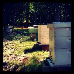 jamesbowie7:  My #honeybees are going nuts. (Taken with instagram)