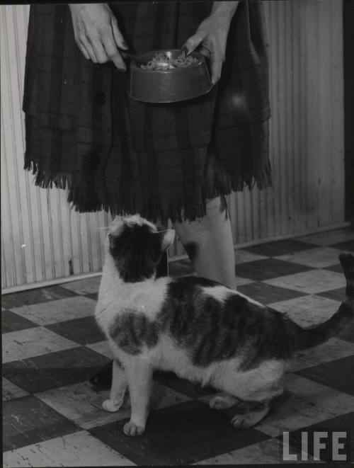 oldtimeycats:  What's Delaying My Dinner?, Vol. 2. Photograph by Nina Leen, 1952. Source: LIFE Photo Archive, hosted by Google.