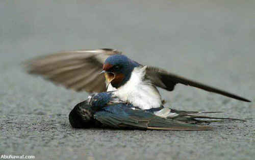 Love and Altruism Between Two Swallows This picture made me tear up a little. He saved her life at the expense of his own…