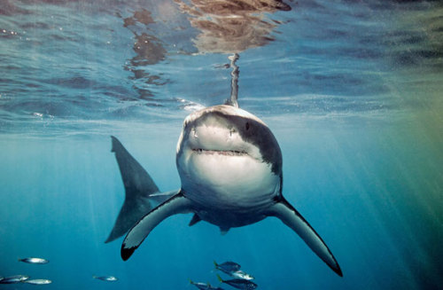 Taken at Guadalupe Island. Photo: Mauricio Handler / National Geographic