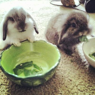 foxspirits:  Bunnilla Ice and Marilyn Bunroe being so cute I want to throw up rainbows.  These two are SO cute. Loving the names too.