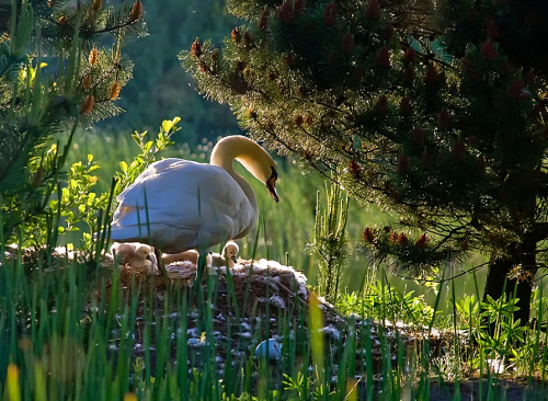 ecocides:  Swans in the spring | image by Hye