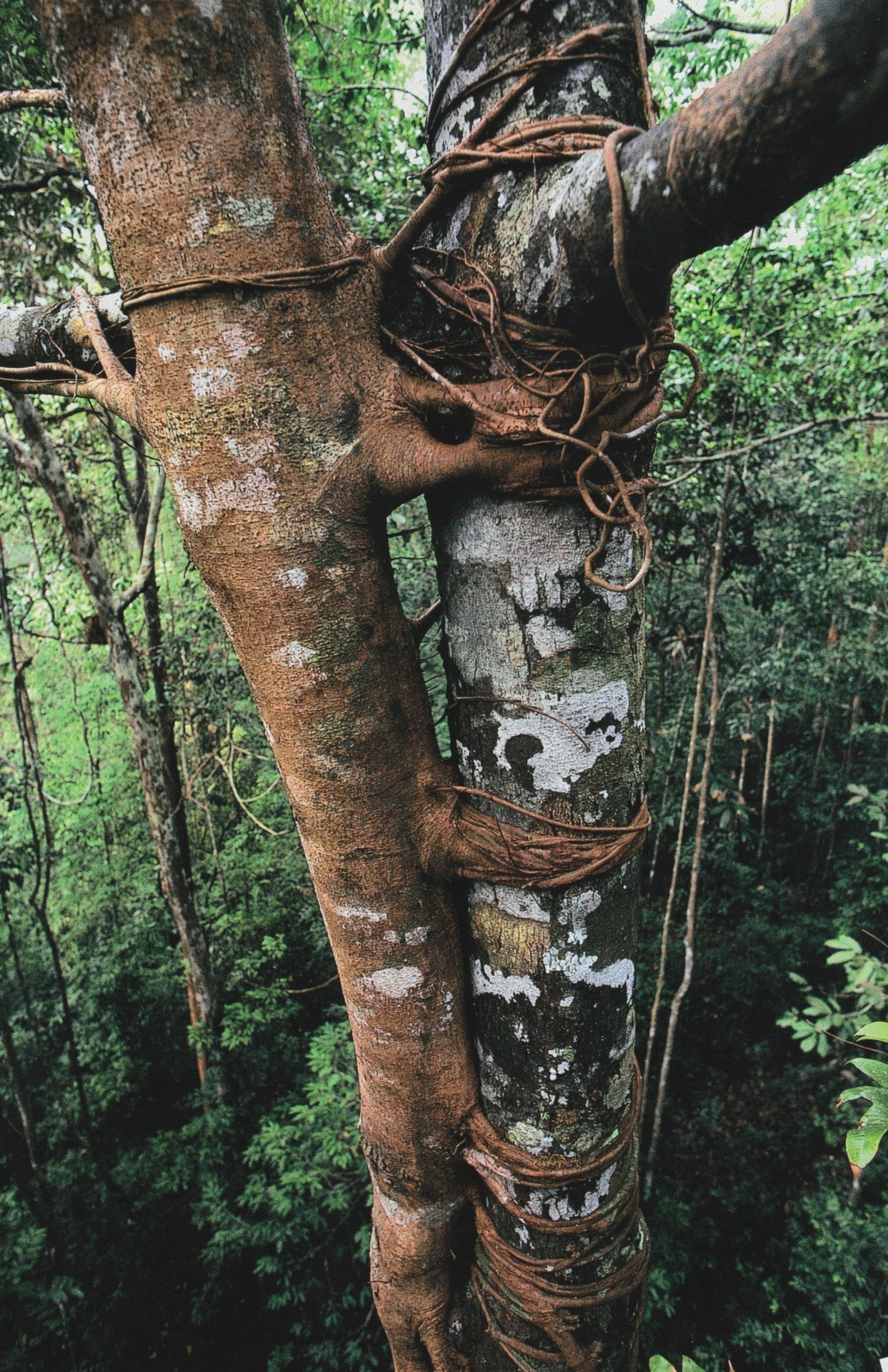 haygirlhey:  National Geographic April 1997 Ficus sumatrana