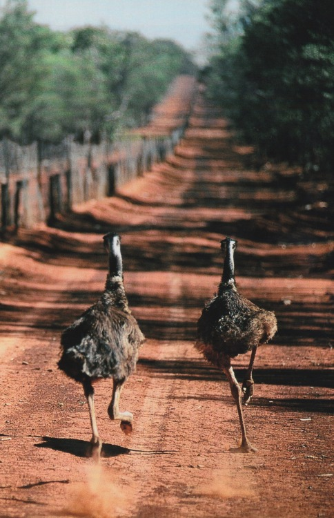 haygirlhey:  National Geographic April 1997 Emus