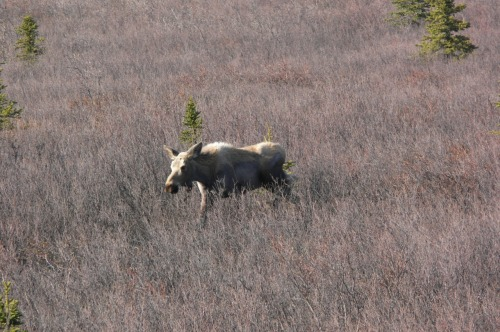 Moose in the willow scrub