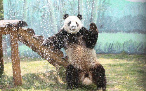 theanimalblog:  Male giant panda Hua Ao reacts as keepers spray down him with a hose to help him cool down in the hot weather at a zoo in Yantai, China.  Picture: China Foto Press / Barcroft Media