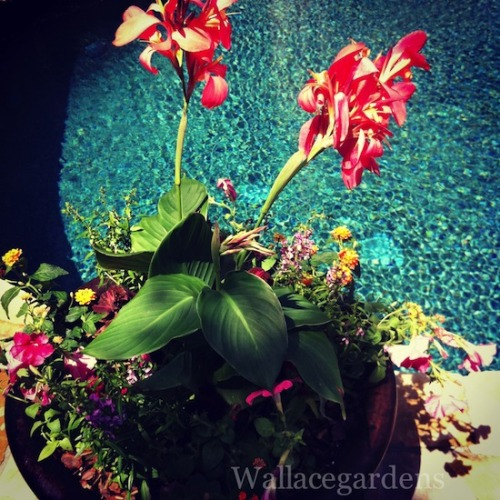 Pool garden with a canna lily.