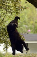 """The juvenile black bear that was shot down from a tree in Schenectady's Stockade neighborhood is in good condition and headed back to the wild, officials said this morning."" (via UPDATE: DEC says Stockade bear is doing well, headed for the wild (with video, photo gallery))"
