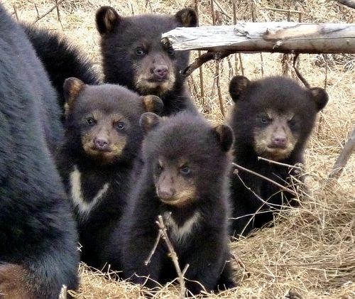 theanimalblog:  Bear cub quadruplets are rare and usually reflect a healthy mother who is larger than your average bear - this she-bear fits the bill. (via zooborns)