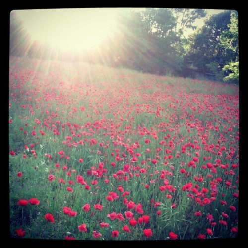 #poppies (Tomada con instagram)