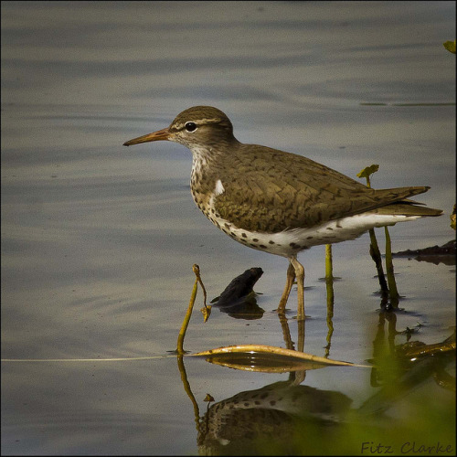 20120503_7933 Spotted Sandpiper, Actitis macularia by Fitz Clarke on Flickr.
