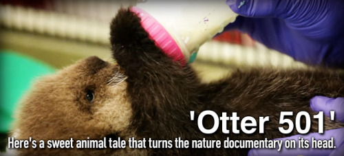 When an orphaned otter pup is rescued from a California beach, her rehabilitation and release into the wild changes a young biologist's life. Watch the story unfold in the heartwarming documentary, 'Otter 501,' that's in theaters now.