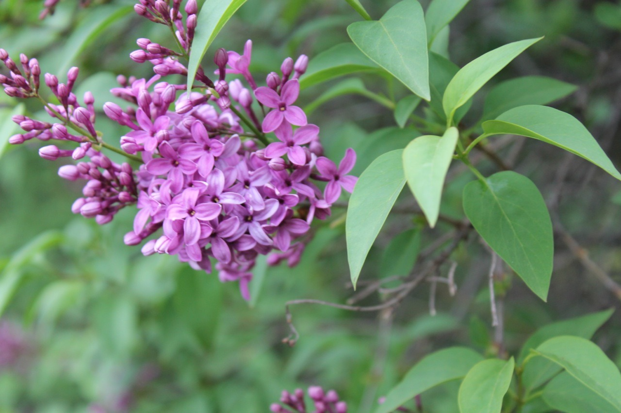 It's springtime in Michigan, and that means flowers! Here's a lilac bush from my backyard-to-be (the current tenants and the landlords are letting us start the garden early, yay!).