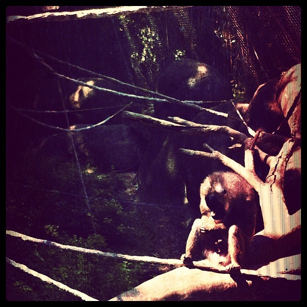 Solidarity #alone #solo #picoftheday #ape #monkey #gorilla #orangutang #iknowhowyoufeelsometimesbuddy (Taken with Instagram at Zoo Atlanta)