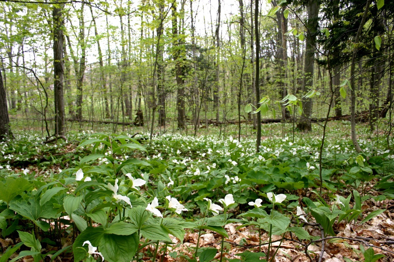 Trillium grandiflorum, a common spring ephemeral in Michigan. These pictures are from Sleeping Bear Dunes in 2010. I haven't seen a blanket of them quite like this around Lansing, but since these flowers don't last very long, I may have just not been in the woods at the right moment.