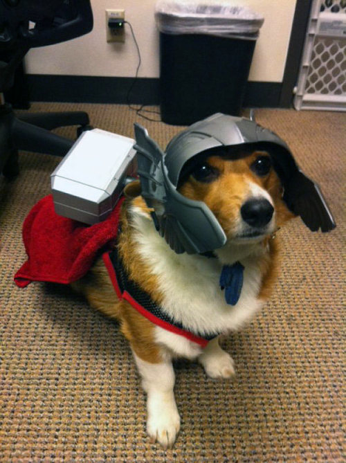 "(THORGI, DOG OF ASGARD) rina2o6: Can I offer you a Thorgi to help you through this troubled time? [Image description: In what looks like someone's home office (judging by the ergonomic desk chair, small trash can, and dog-corraling baby-gate), a corgi stands before you on a terrestrial brown (possibly stain-proof) carpet. A red cape fastens under his chest (I say ""his"" because: Thorgi), and an oversized silver-tone Thor helmet (because: Thorgi) that juts out beyond his nose is tied under his chin with a blue ribbon. On his back rests mighty Mjölnir, a toy hammer the size of a brick and smaller than his head, but just barely. Here on Earth for a time, Thorgi looks up anxiously: with great cuteness comes great responsibility.]"
