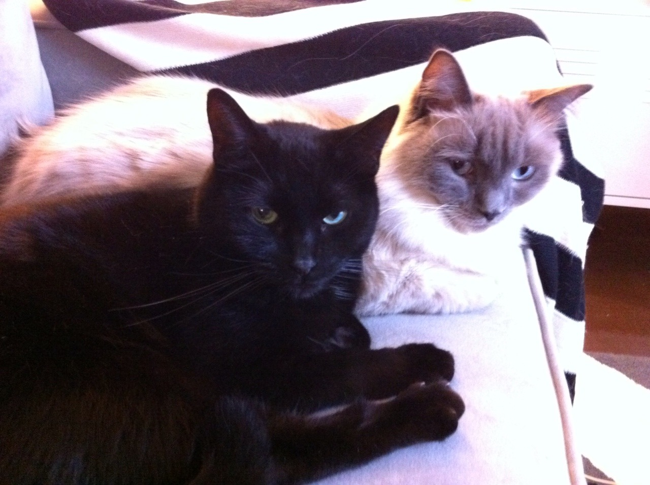 Because every blog should begin with a cat photo. These are my boys, Bonk and Moose. Moose (the white one) is a purebred Ragdoll I adopted as a kitten about three years ago. He's very friendly, curious and playful but not particularly cuddly—great with new people and animals but not much of a lap cat. He's also the dumbest cat I've ever had, which provides constant amusement. I can't remember exactly how he got his name; I think it was just a temporary name that stuck. But nowadays he's the perfect embodiment of a Big Moosie. I adopted Bonk about a year ago from an Atlanta-based network of no-kill shelters named Furkids. They do amazing work, taking in all cats—young, old, sick, healthy—and providing them excellent care until they're adopted or peacefully live out their lives. I spent several hours at Furkids over two visits trying to find a good companion for Moose, wandering through the rooms of their main adoption center which houses dozens and dozens of cats. There were cats more beautiful, young and outgoing than Bonk (original name: Peter Piper), but something about him resonated with me. Whenever I would go into his room the more social cats would jostle and fight for my attention but Bonk would calmly walk over, climb into my lap and stare up at me. He was about four years old at that point and had lived his entire life at the shelter. Even now, over a year later, his personality is still unfurling a little more each day. He's very timid, abnormally smart, incredibly affectionate and cuddly with me, and rarely makes a sound. He also has a habit of headbutting things when he's happy which is how he got his name. Moose is the cat that my houseguests flock to because he's so social and beautiful (and because Bonk hides under the bed whenever someone comes over), but it's Bonk that curls up against my hip whenever I'm on the couch and in the crook of my arm when I stretch out in bed every night. The two of them are best friends and almost complete opposites and I couldn't imagine my life without them.