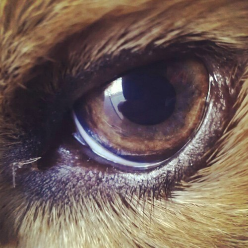 Dog eye (Taken with instagram)