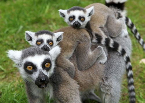 theanimalblog:  A ring-tailed lemur and her two young explore their enclosure at the zoo in Marlow, eastern Germany.  Picture: BERND WUSTNECK/AFP/GettyImages