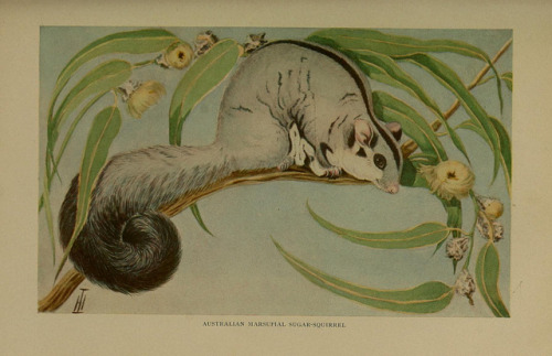 Sugar Glider (Petaurus breviceps) by BioDivLibrary on Flickr. The life of animals;.London,Macmillan & co., ltd.,1906..biodiversitylibrary.org/page/39642229